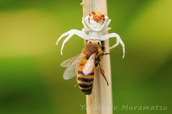 オキナワアズチグモの写真