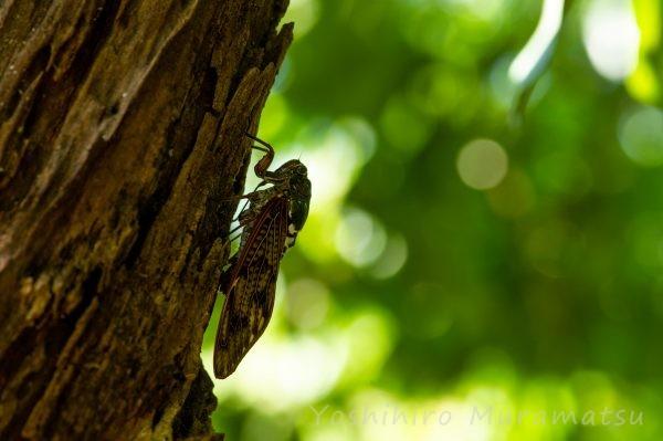 アブラゼミ 成虫の写真