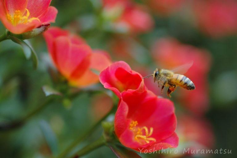 セイヨウミツバチの写真