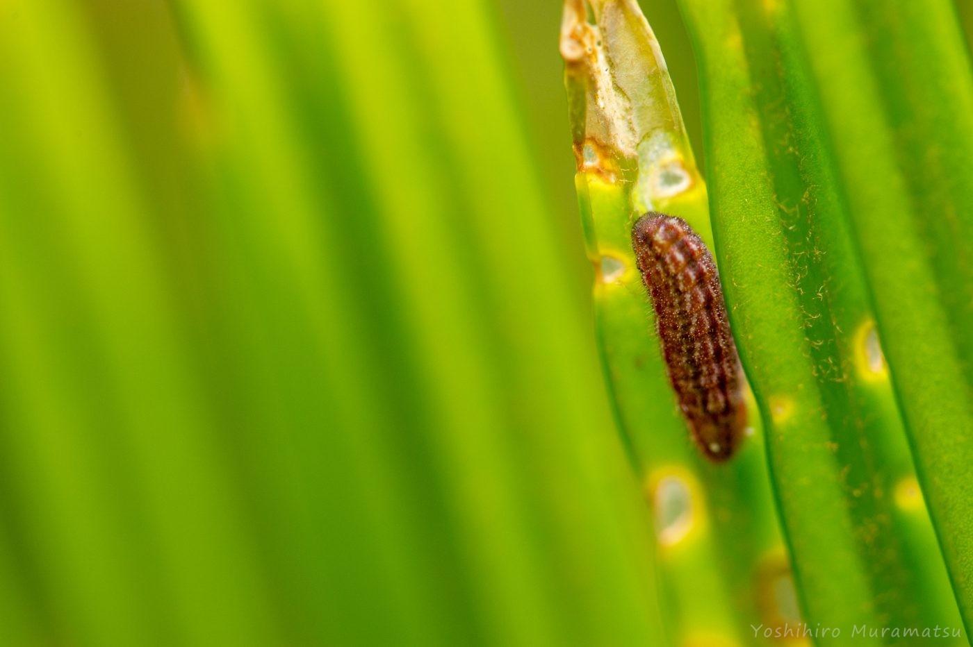 クロマダラソテツシジミの幼虫の写真