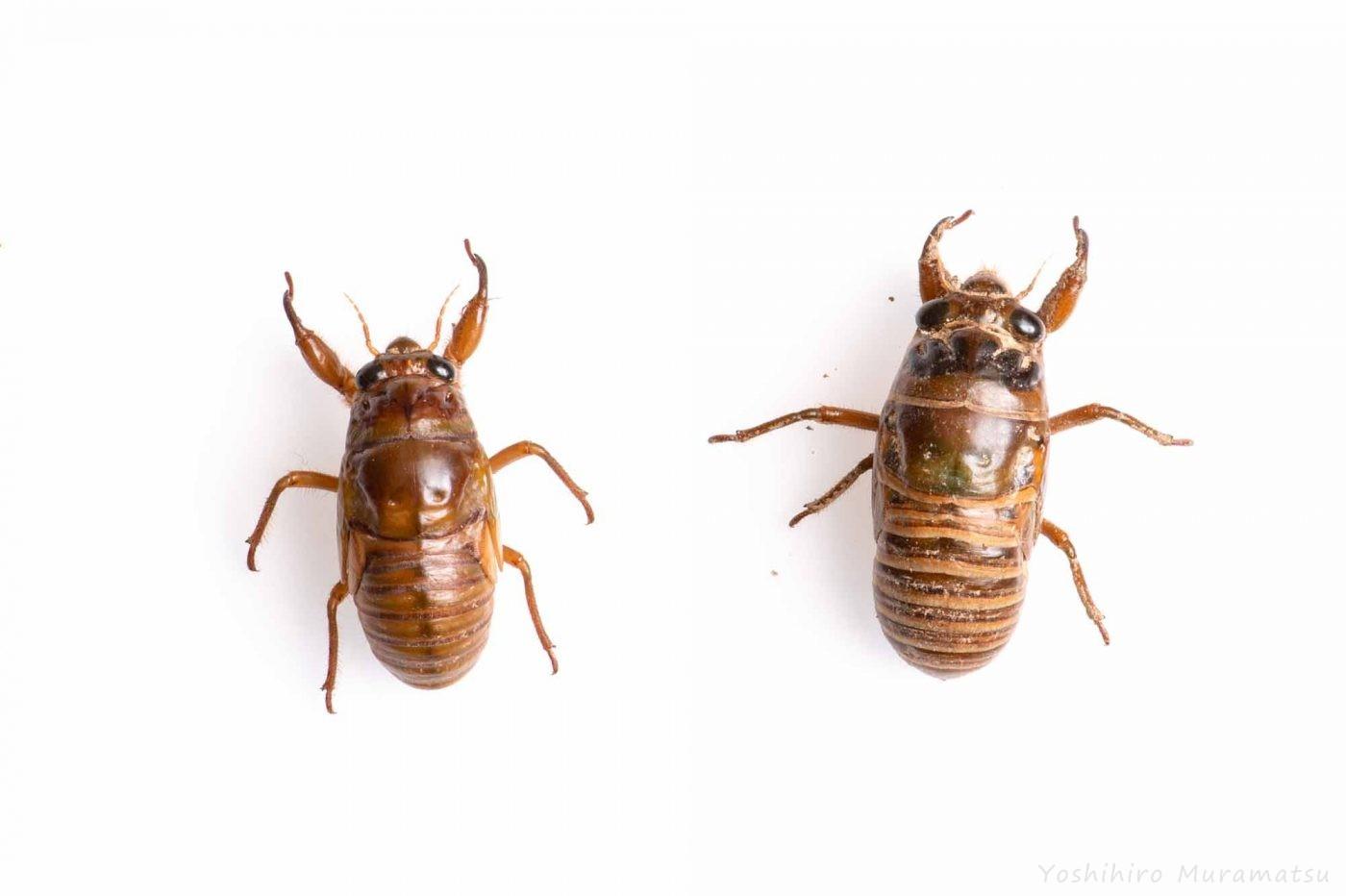 アブラゼミとクマゼミの幼虫の写真