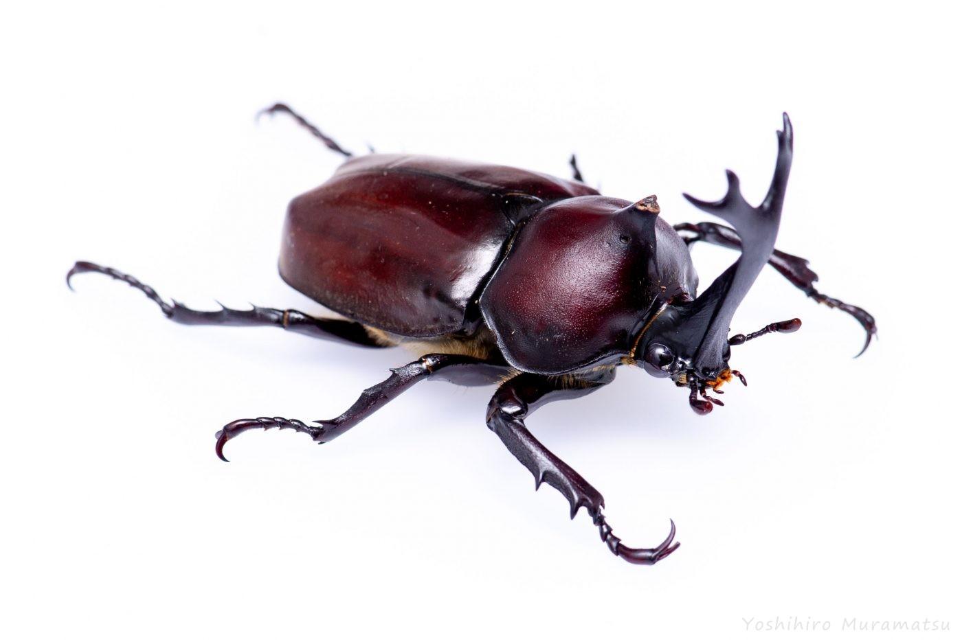 カブトムシのpスの写真