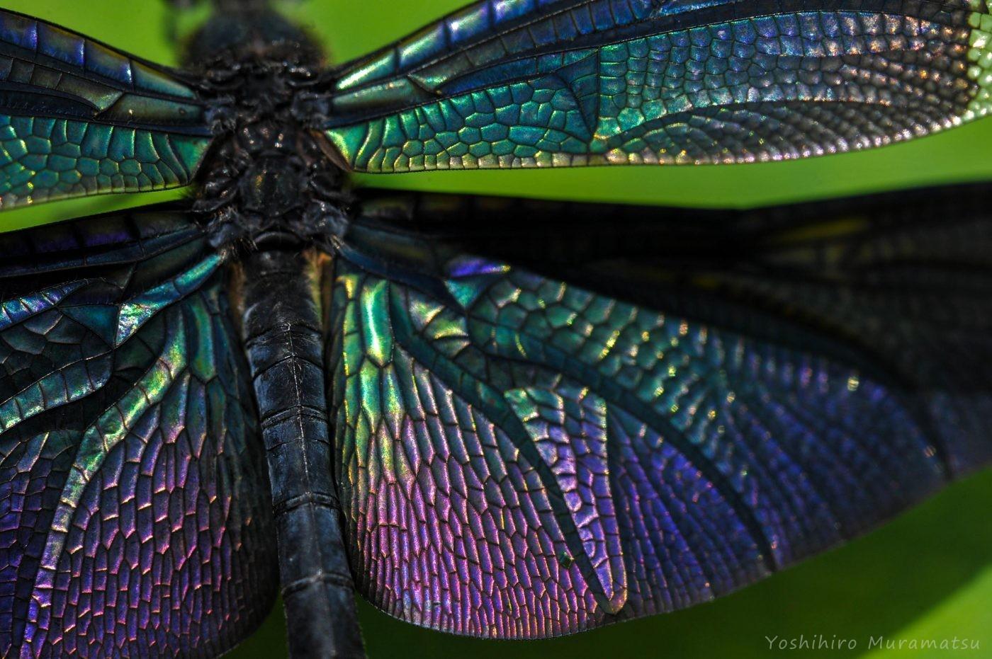 チョウトンボの羽拡大写真