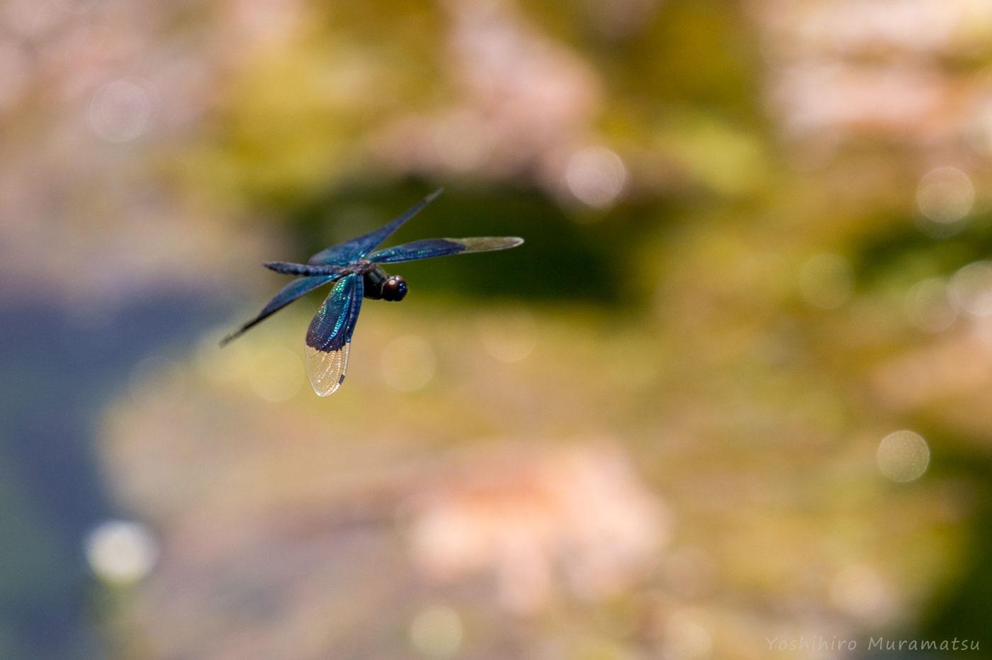 チョウトンボの飛翔写真