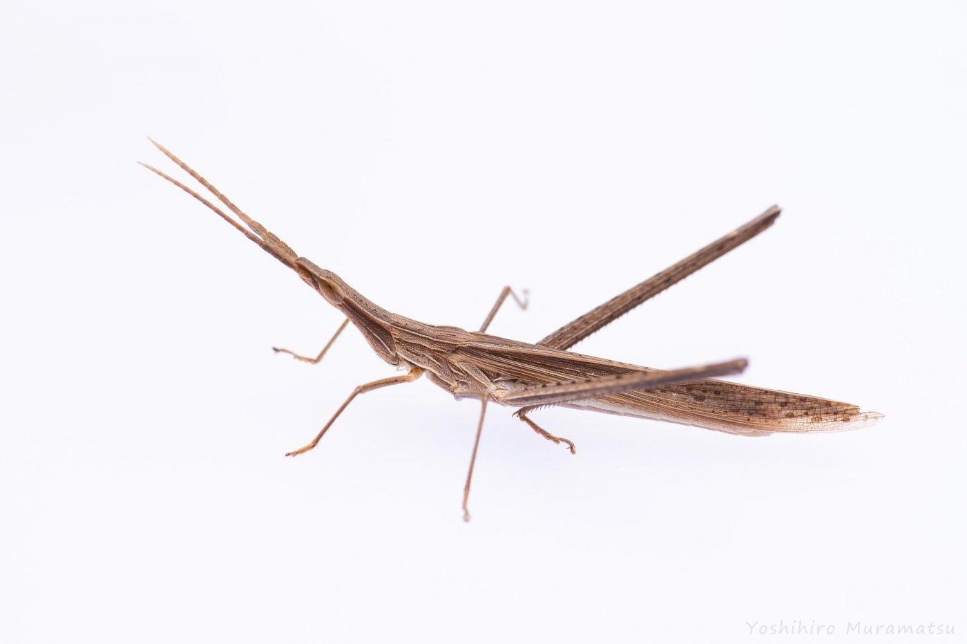 ショウリョウバッタ褐色型オス♂の写真