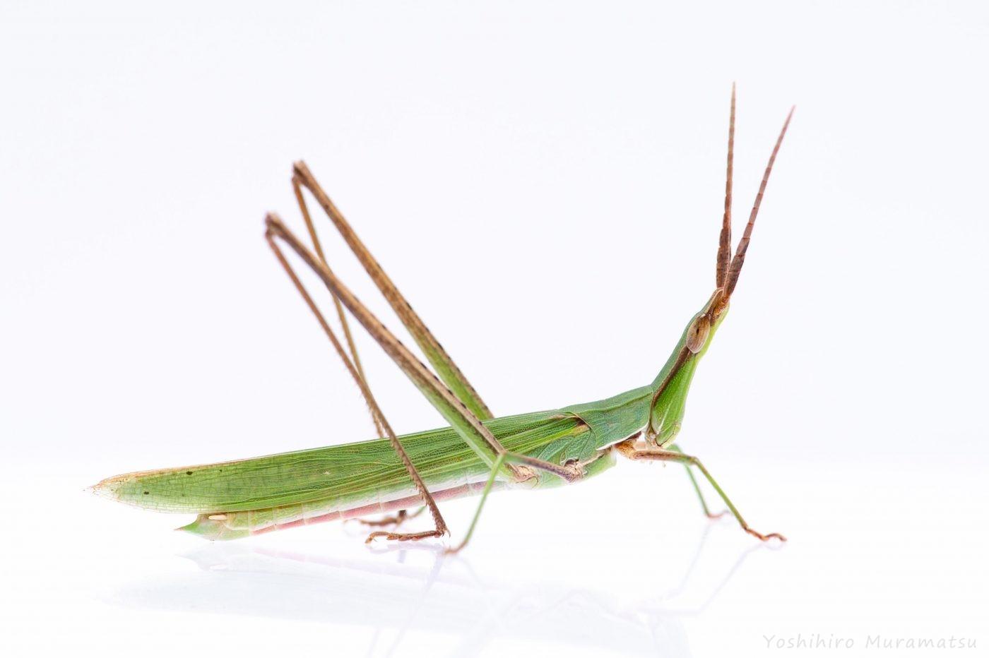 ショウリョウバッタ緑色型オス♂の写真