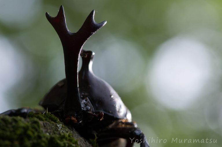 カブトムシのツノ写真