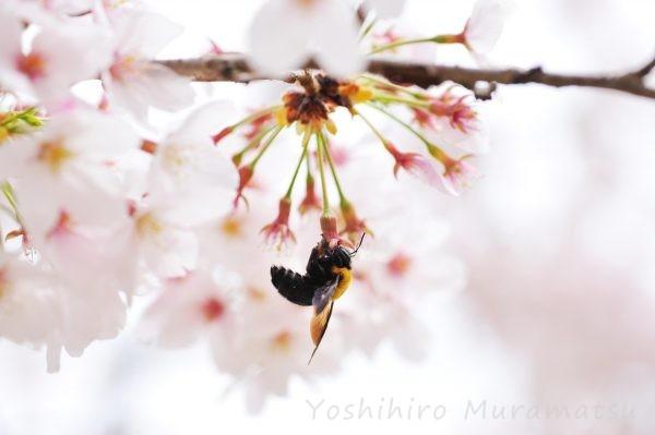 クマバチの写真