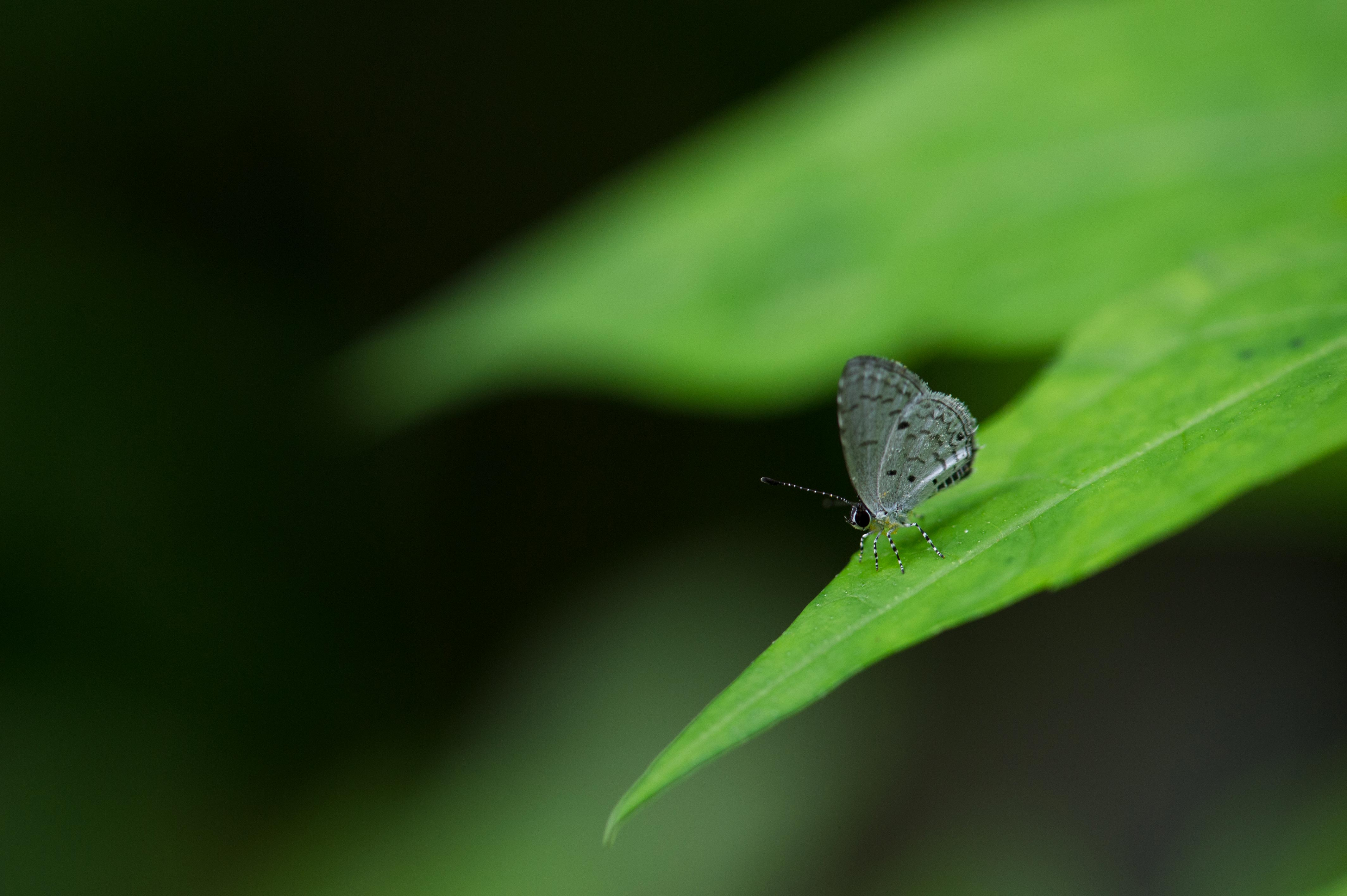 タイワンクロボシシジミの写真