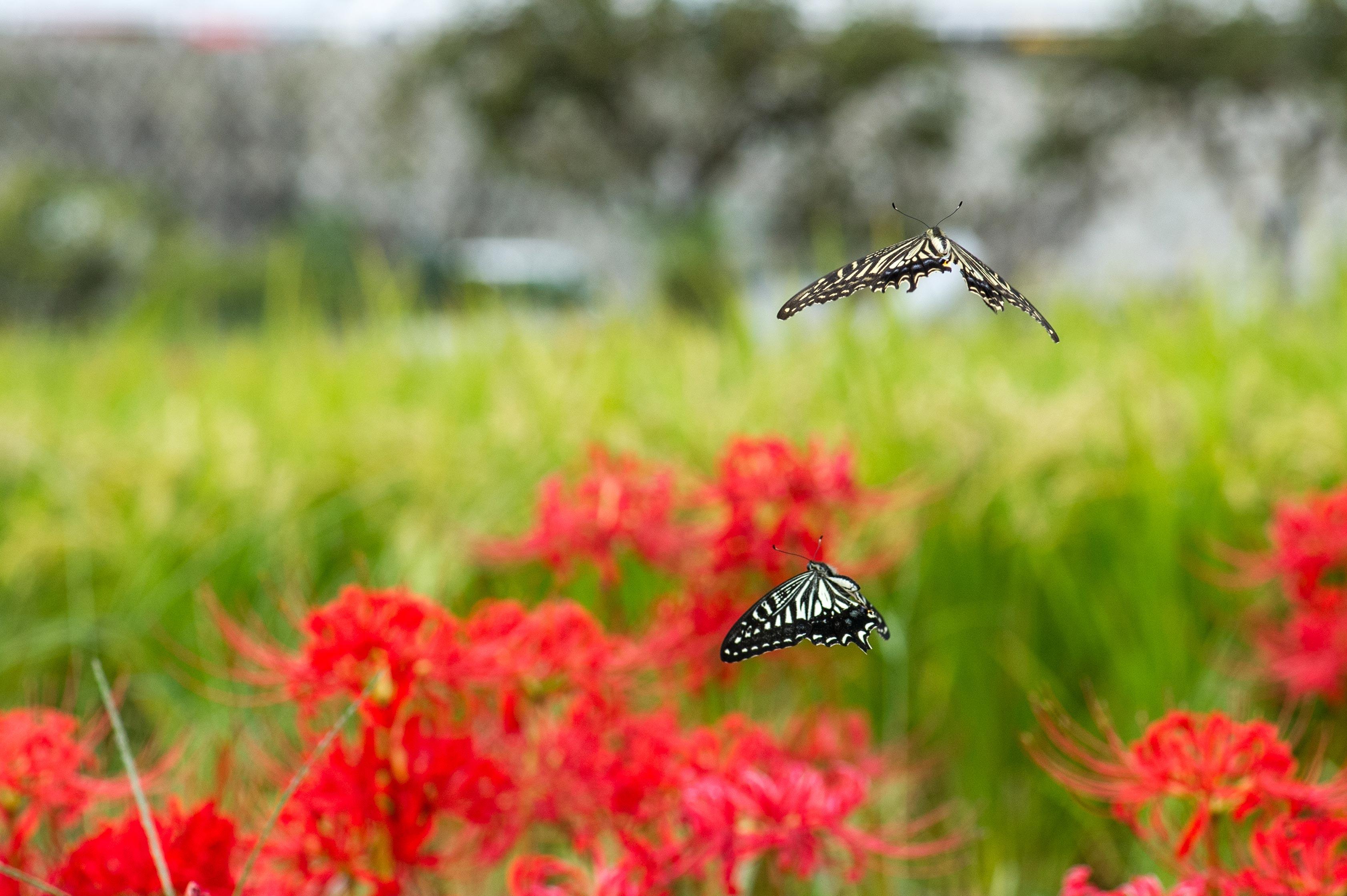 アゲハチョウの写真