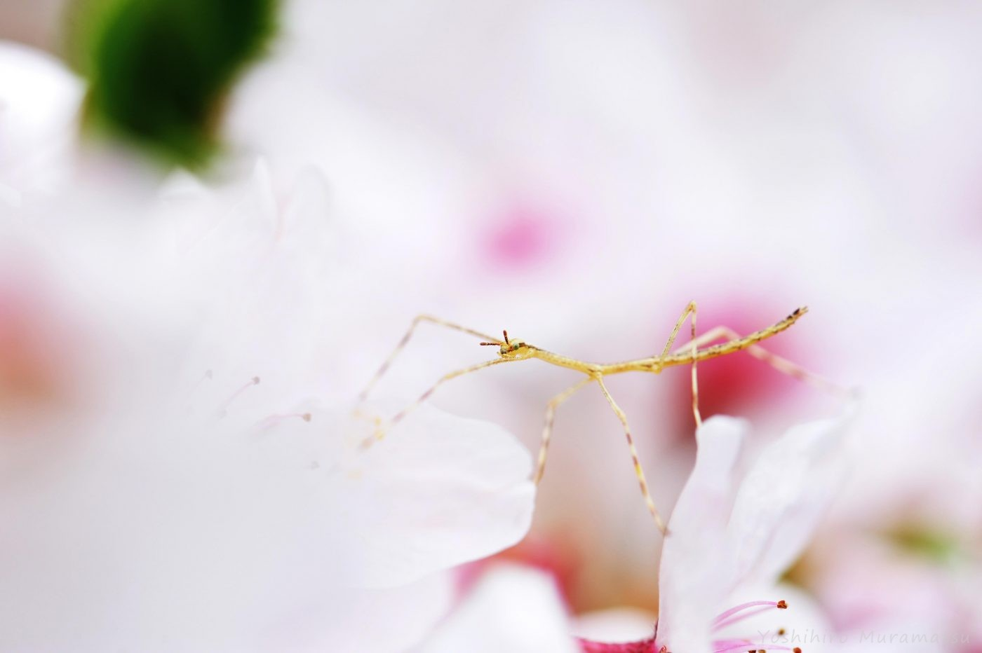 ナナフシモドキ幼虫
