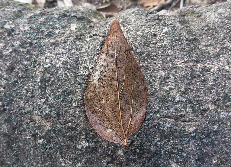 エノキの葉の画像