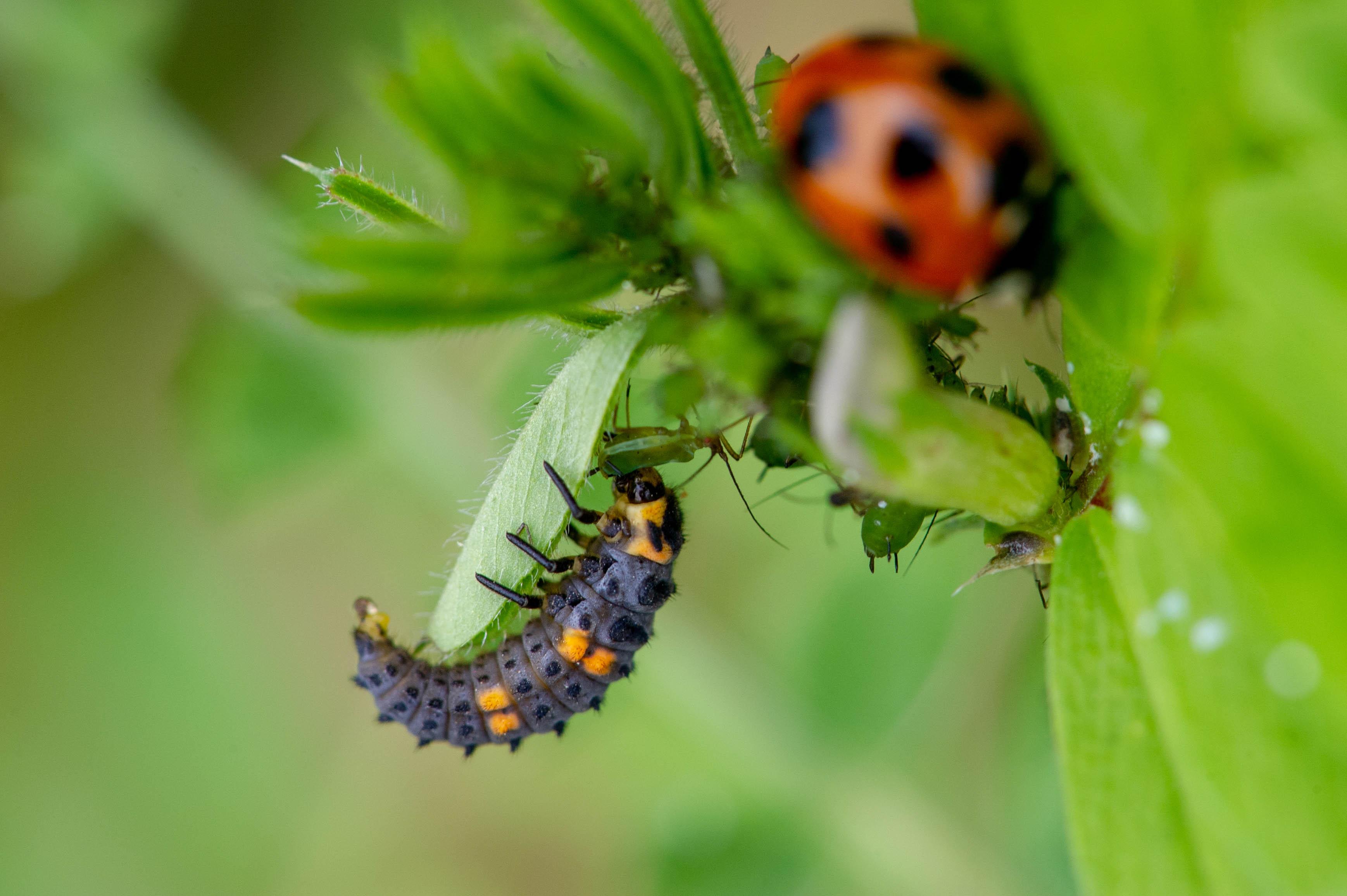てんとう 虫 寿命 てんとう虫の平均寿命は? - 用品