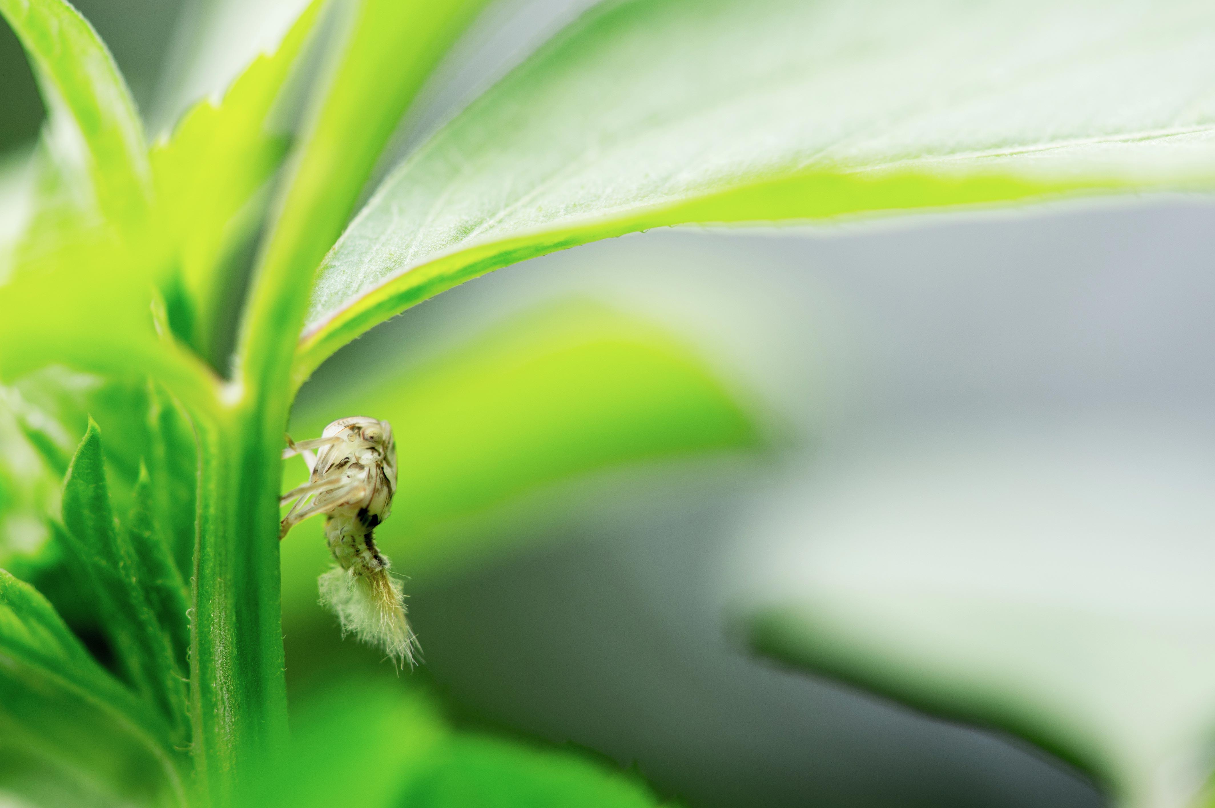 オキナワハゴロモモドキの幼虫の写真