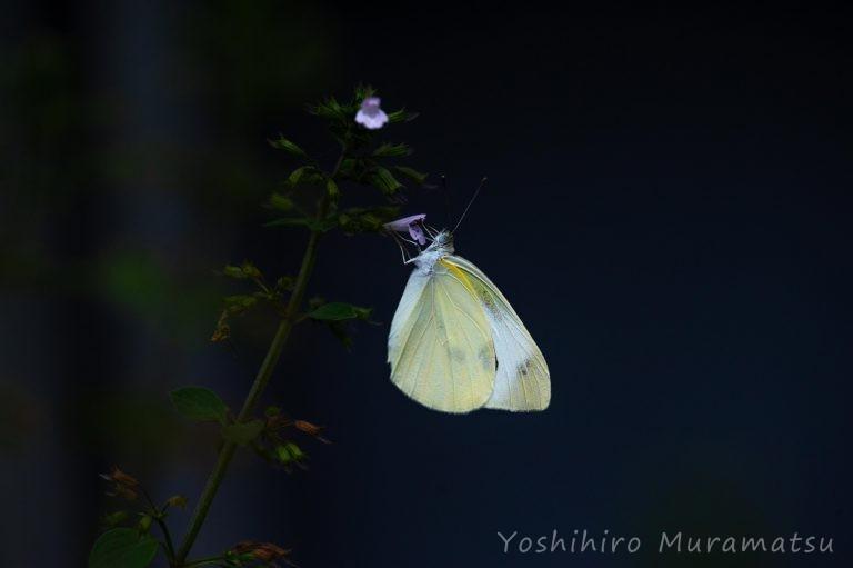 モンシロチョウの写真