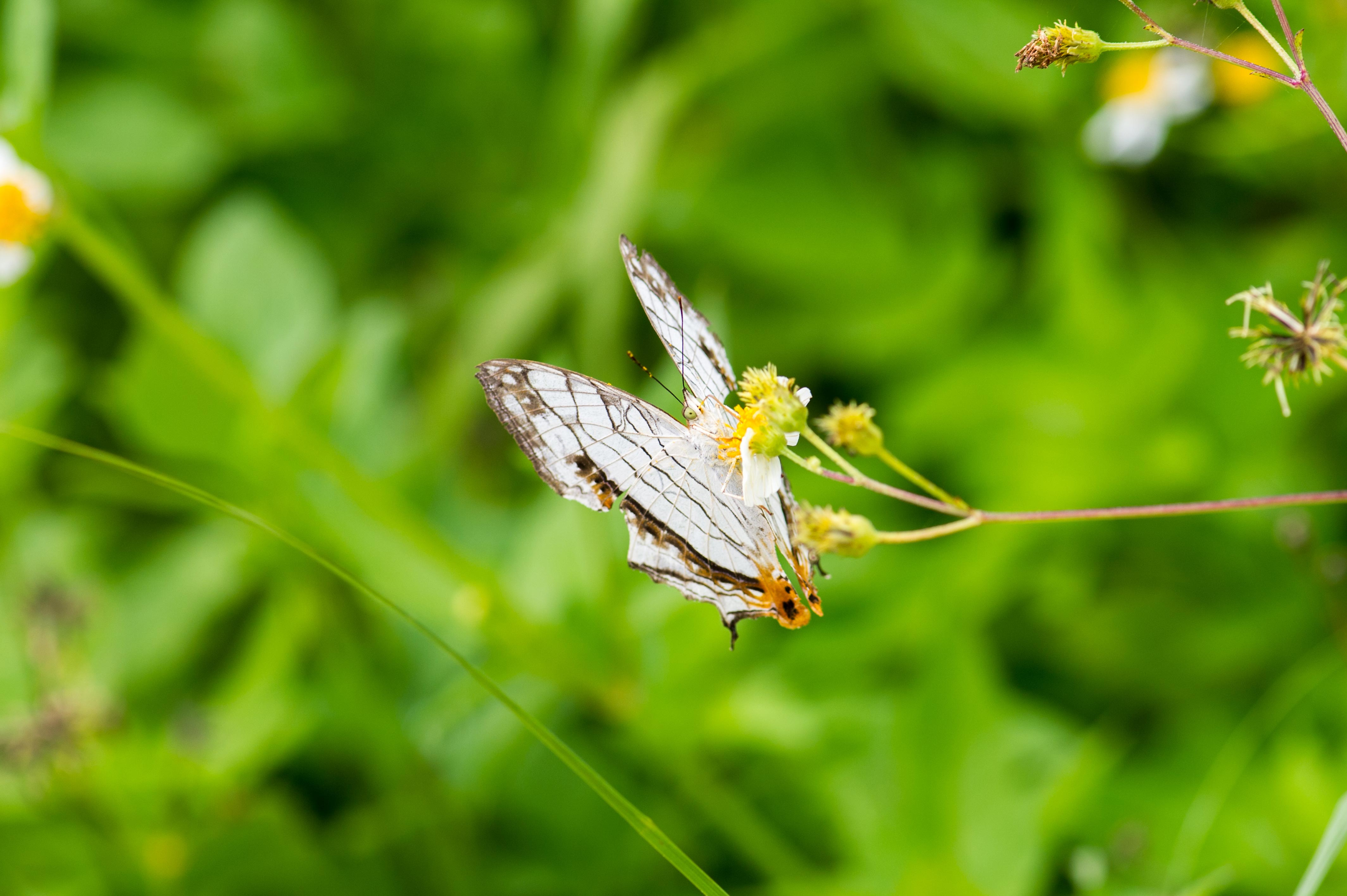 イシガケチョウの写真