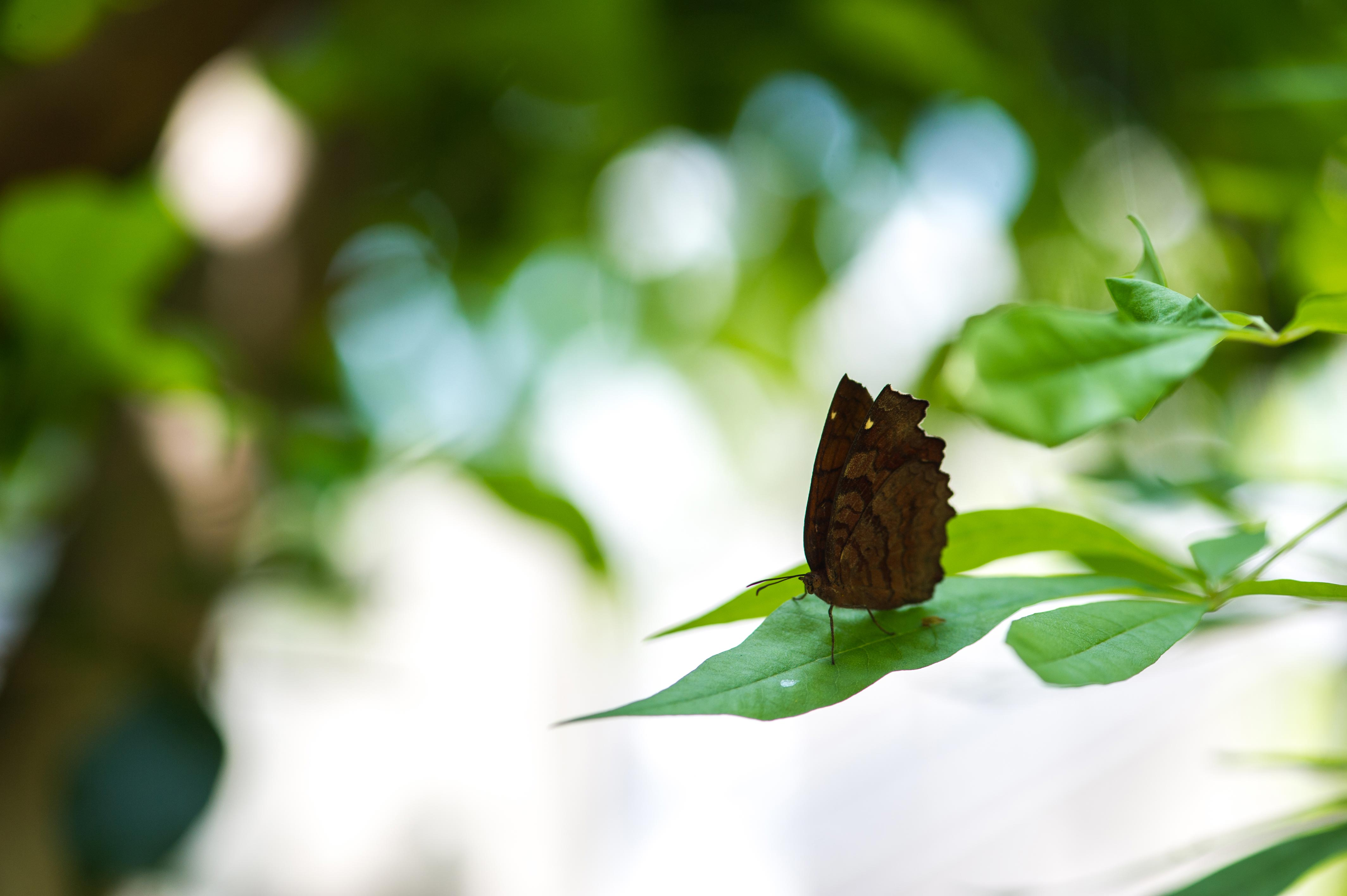 カバタテハの写真