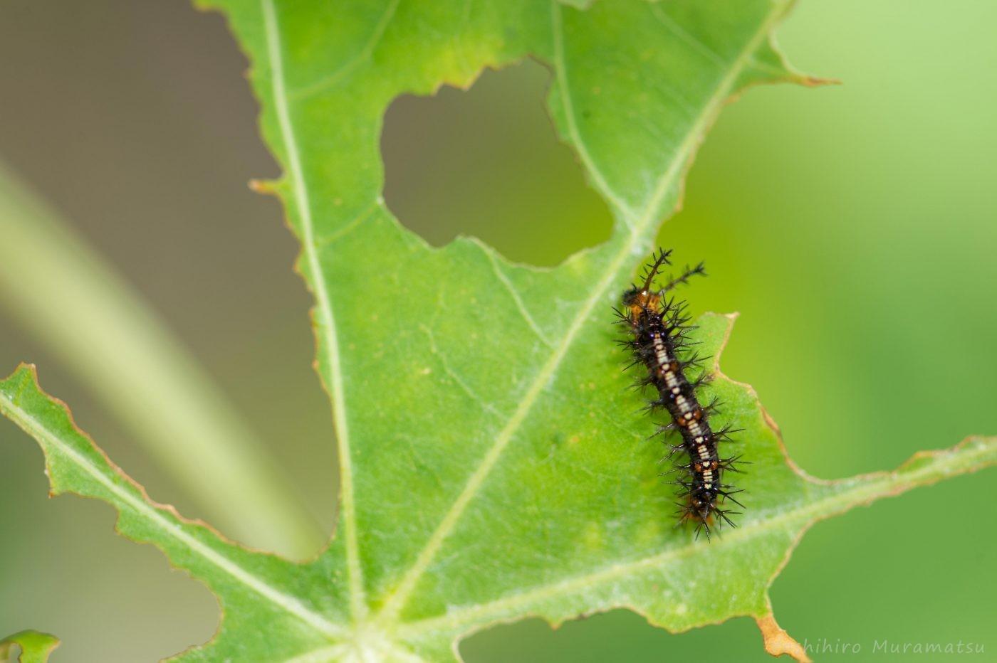 カバタテハ幼虫の写真