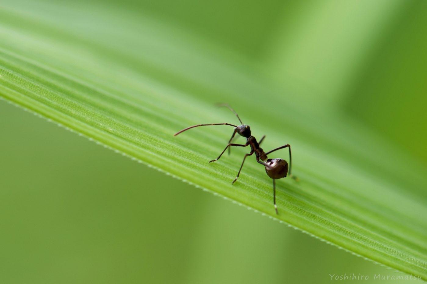 ホソヘリカメムシ幼虫の写真