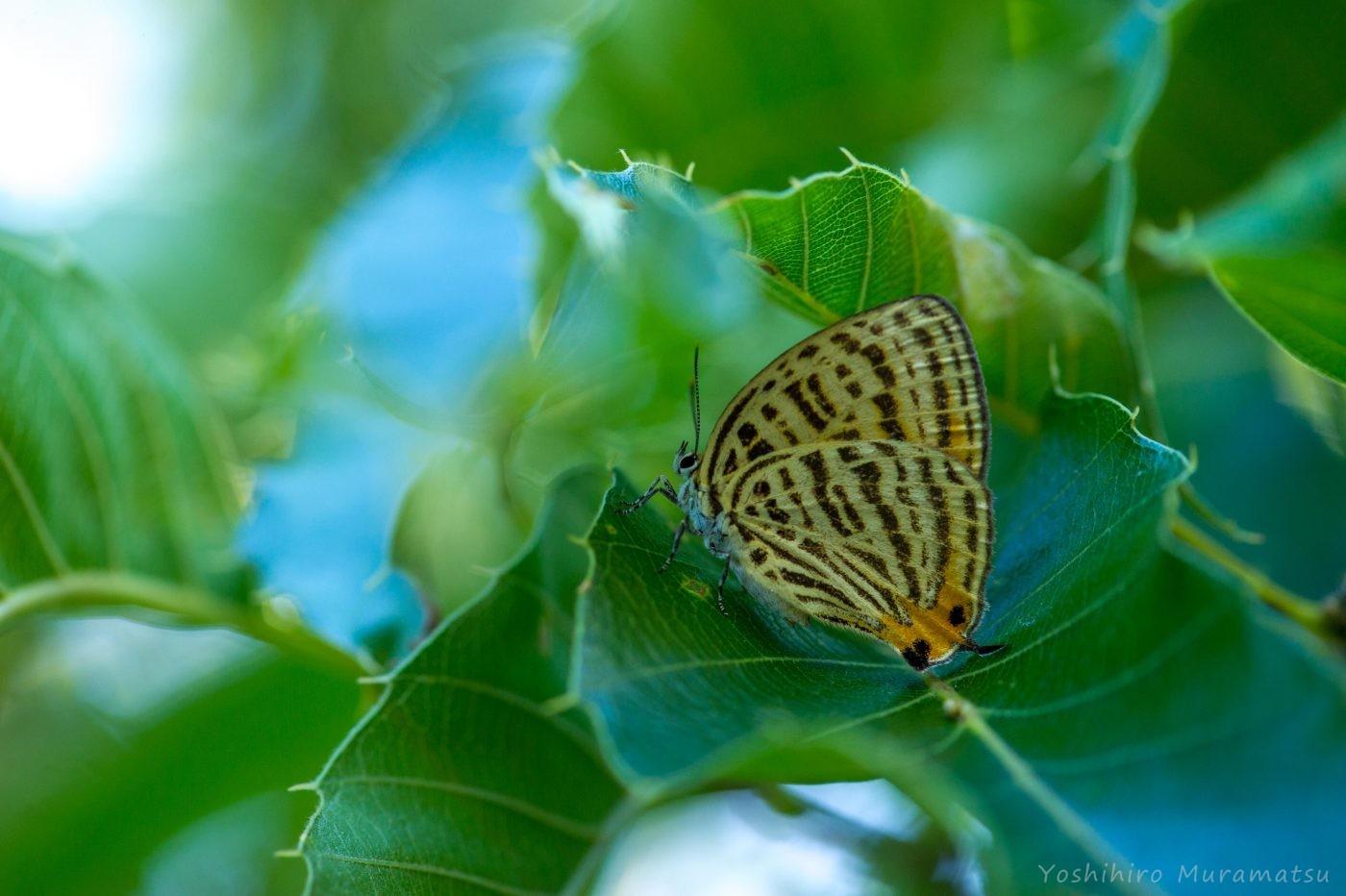 ウラナミアカシジミの写真