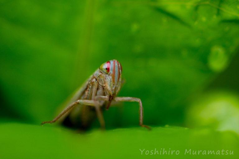 オモナガヨコバイの写真
