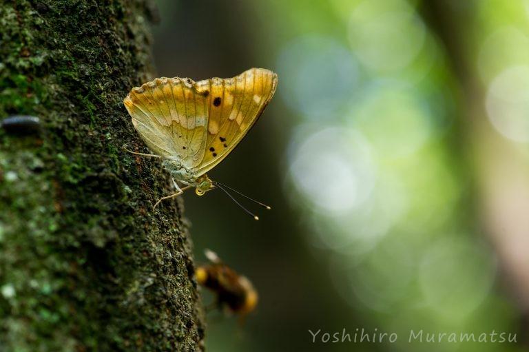 コムラサキの写真