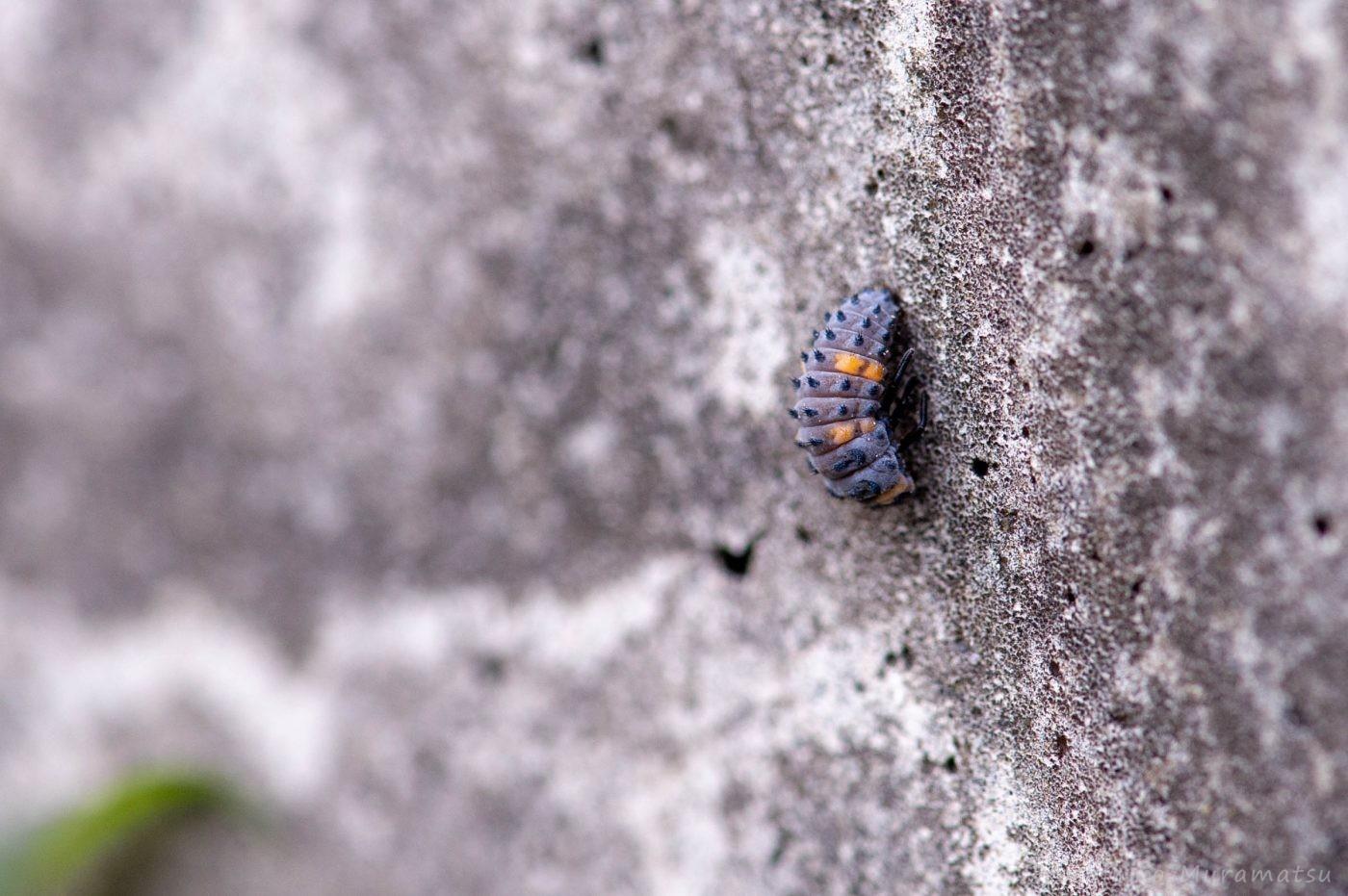ナナホシテントウの前蛹