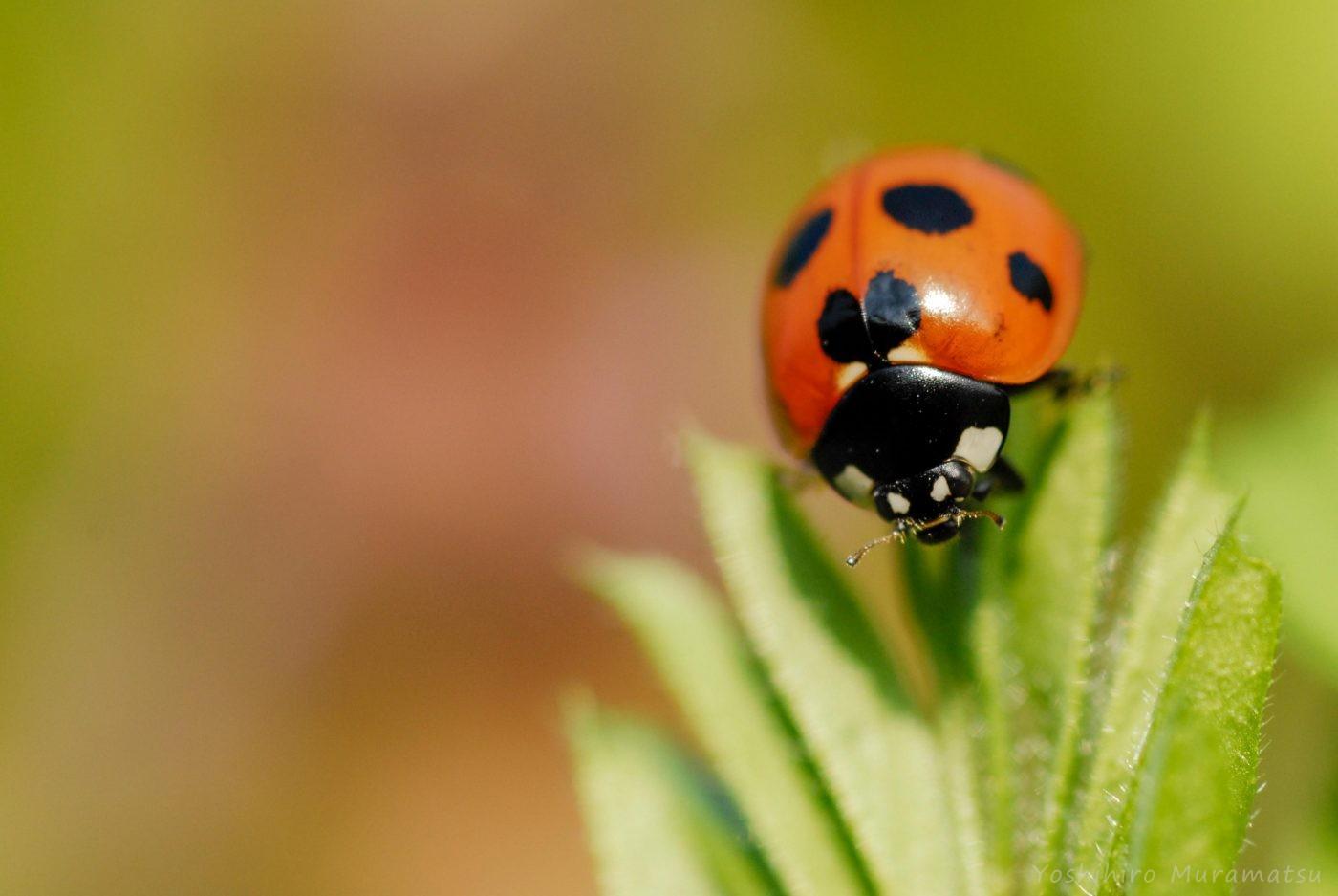てんとう 虫 の お告げ てんとう虫を駆除する 3つの方法 - wikiHow
