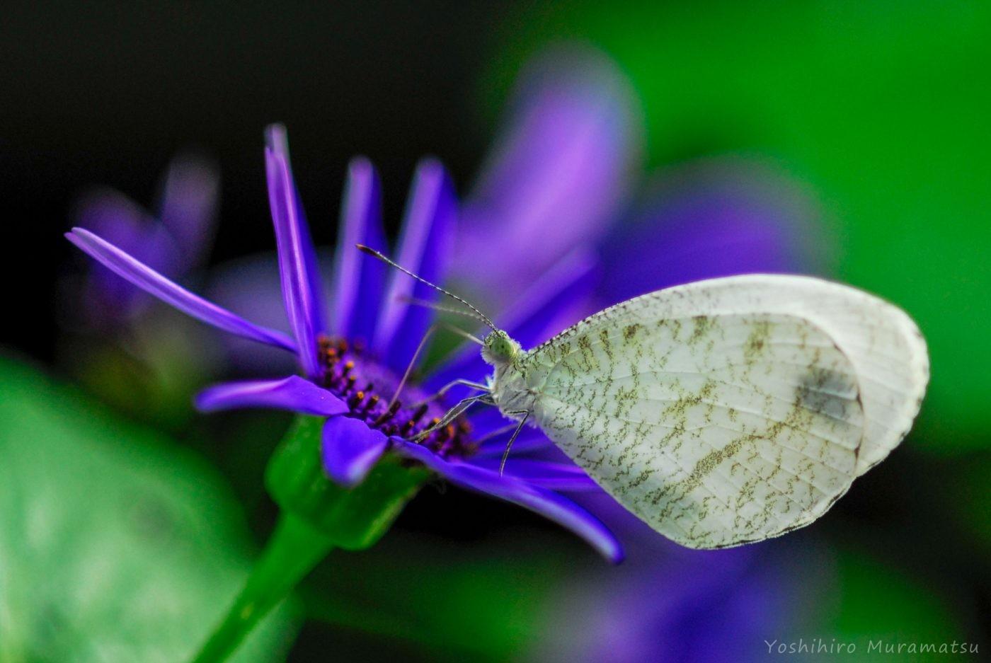 クロテンシロチョウが紫の花に止まっている写真
