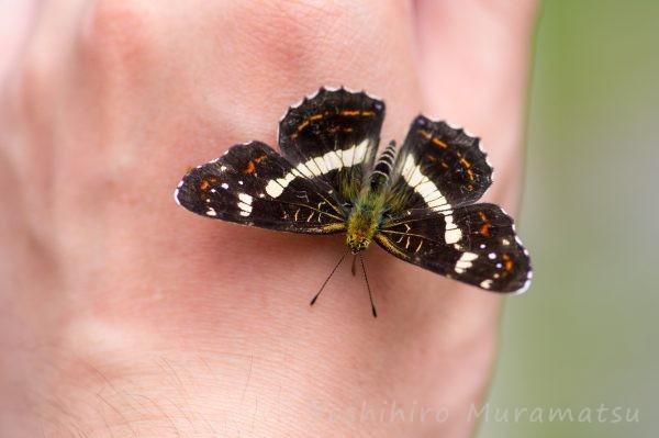 サカハチチョウの写真