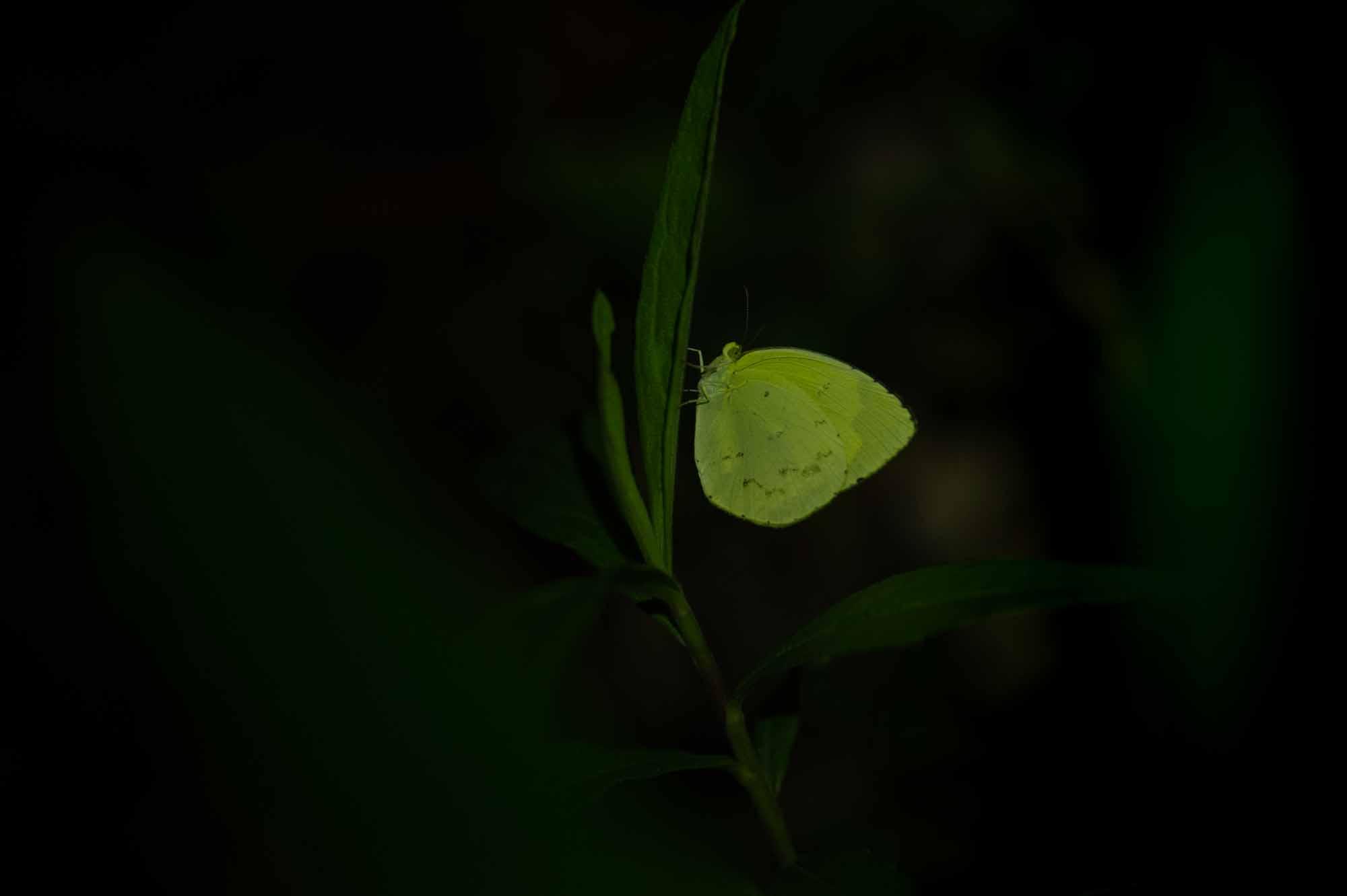 キタキチョウの写真