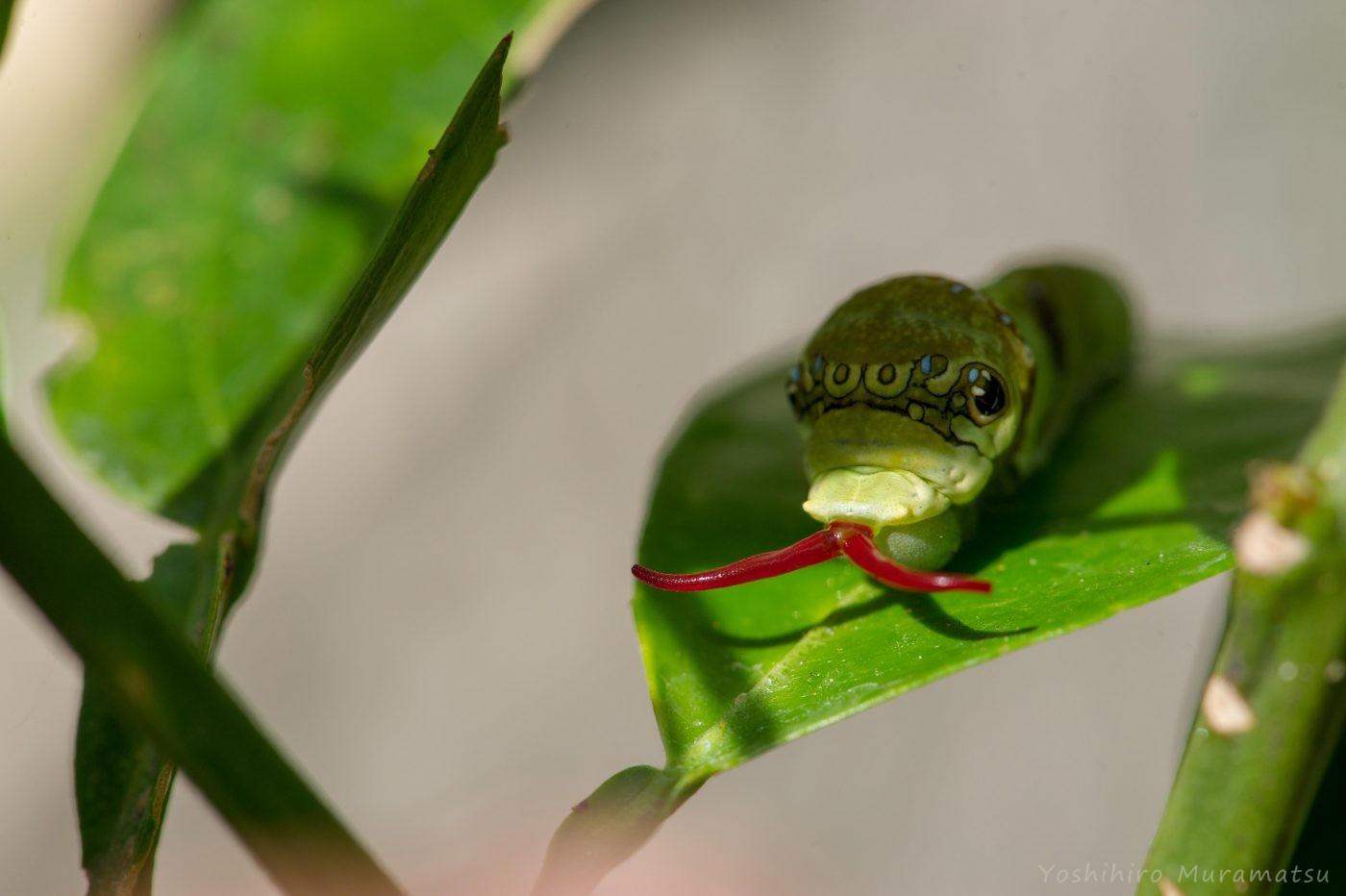 クロアゲハの幼虫の写真