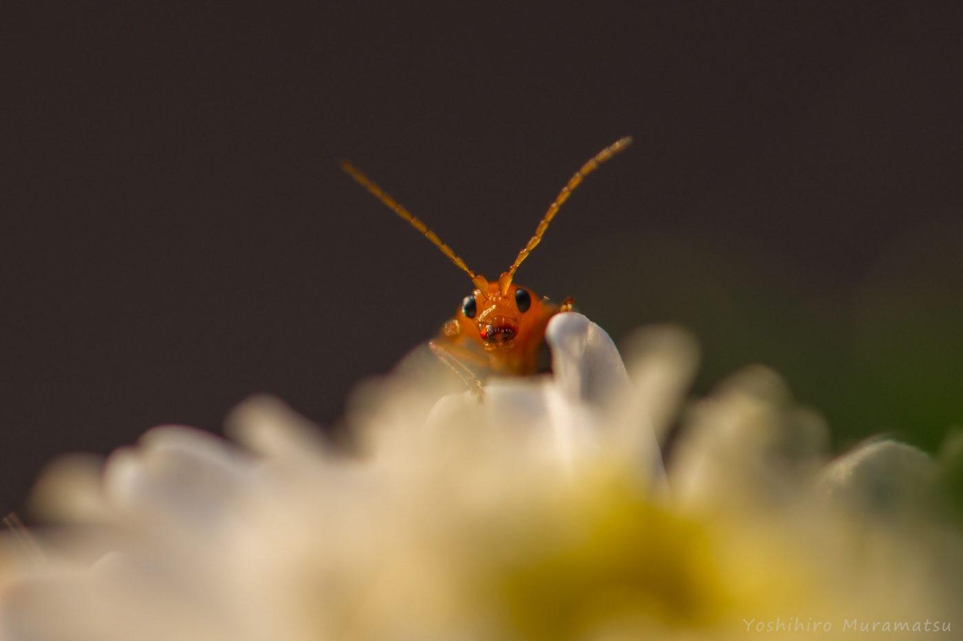 ウリハムシの写真