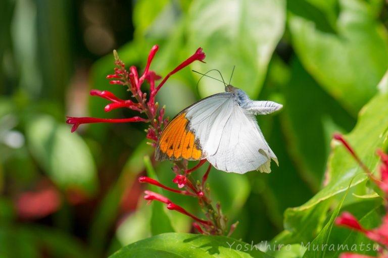 ツマベニチョウの写真