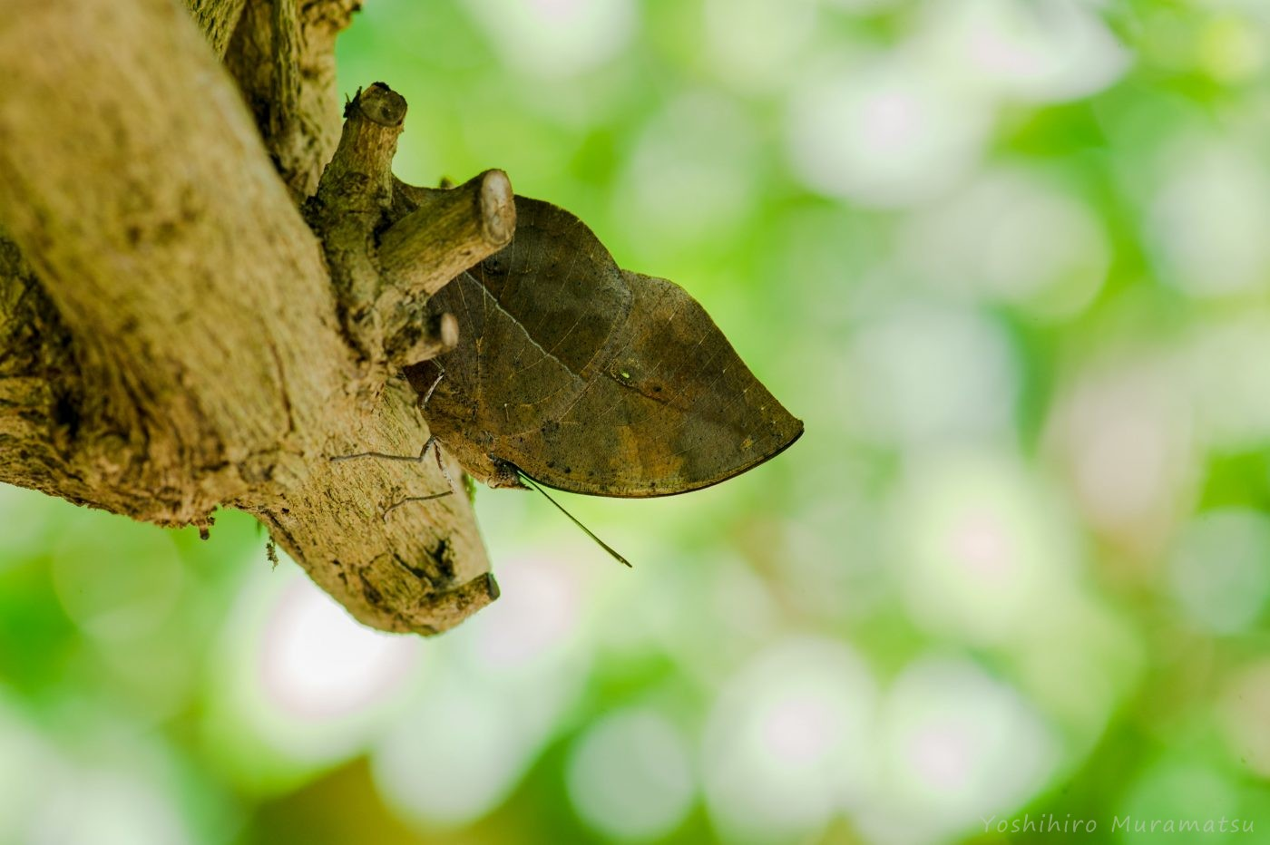 コノハチョウの写真