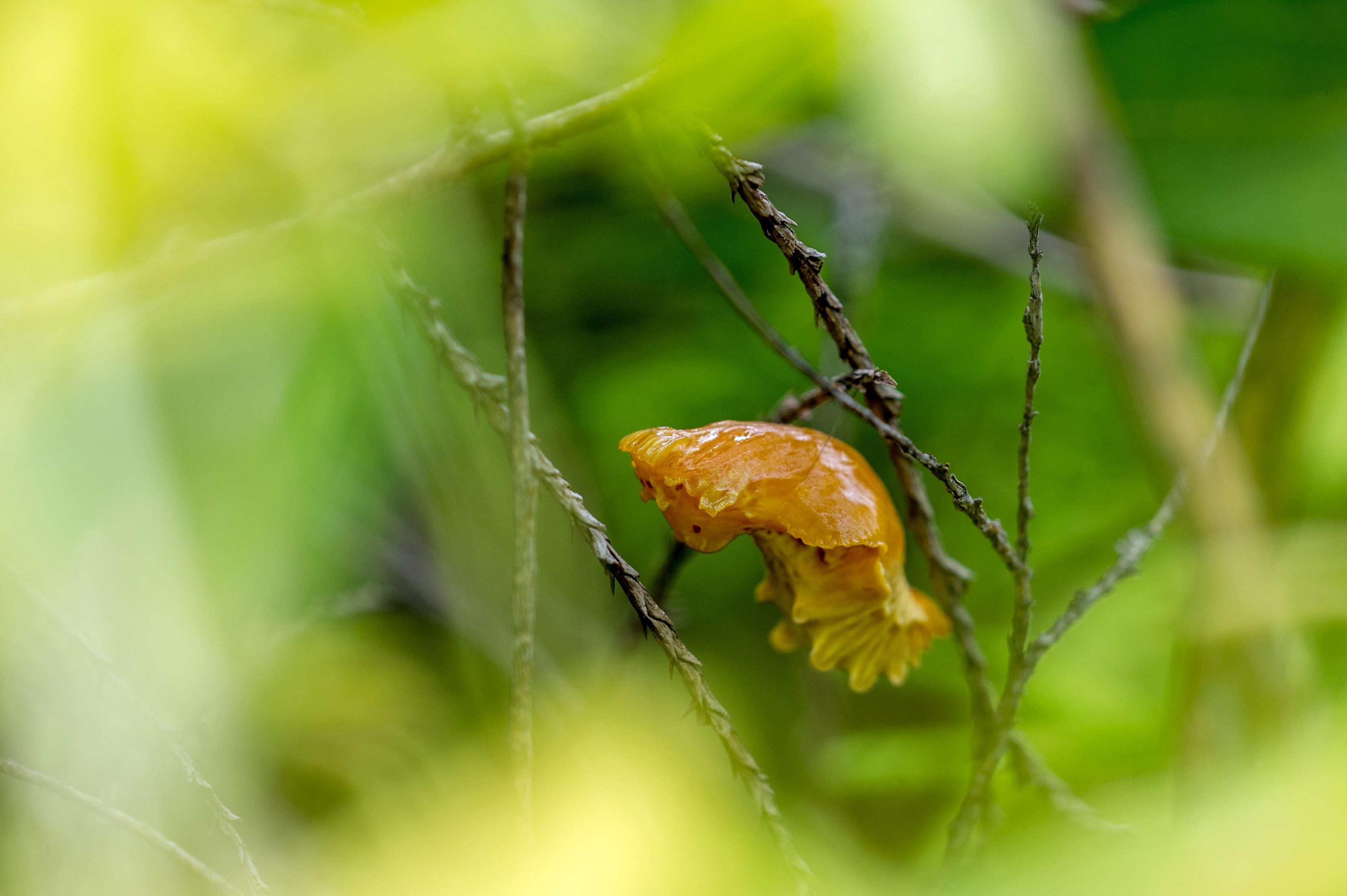 ジャコウアゲハのサナギの写真