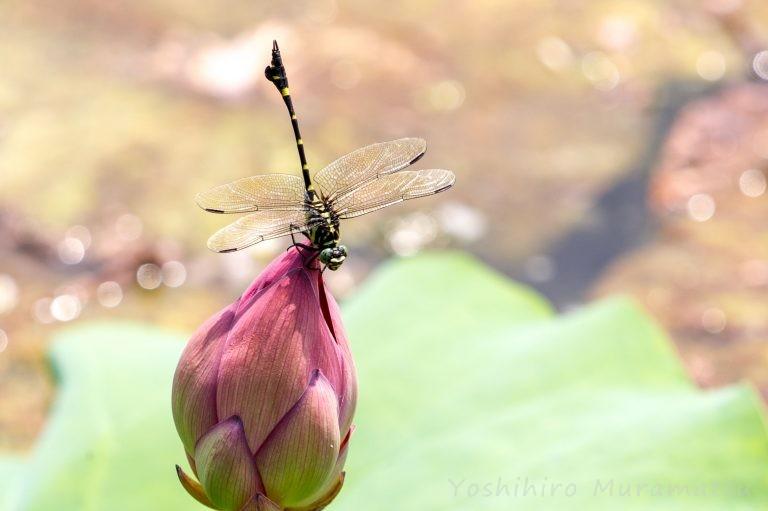 タイワンウチワヤンマの写真