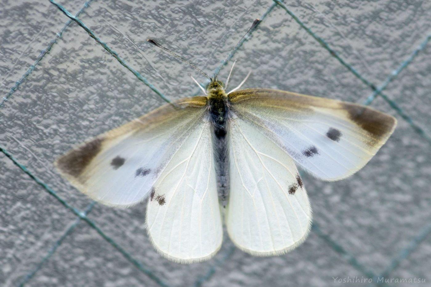 モンシロチョウのメスの写真