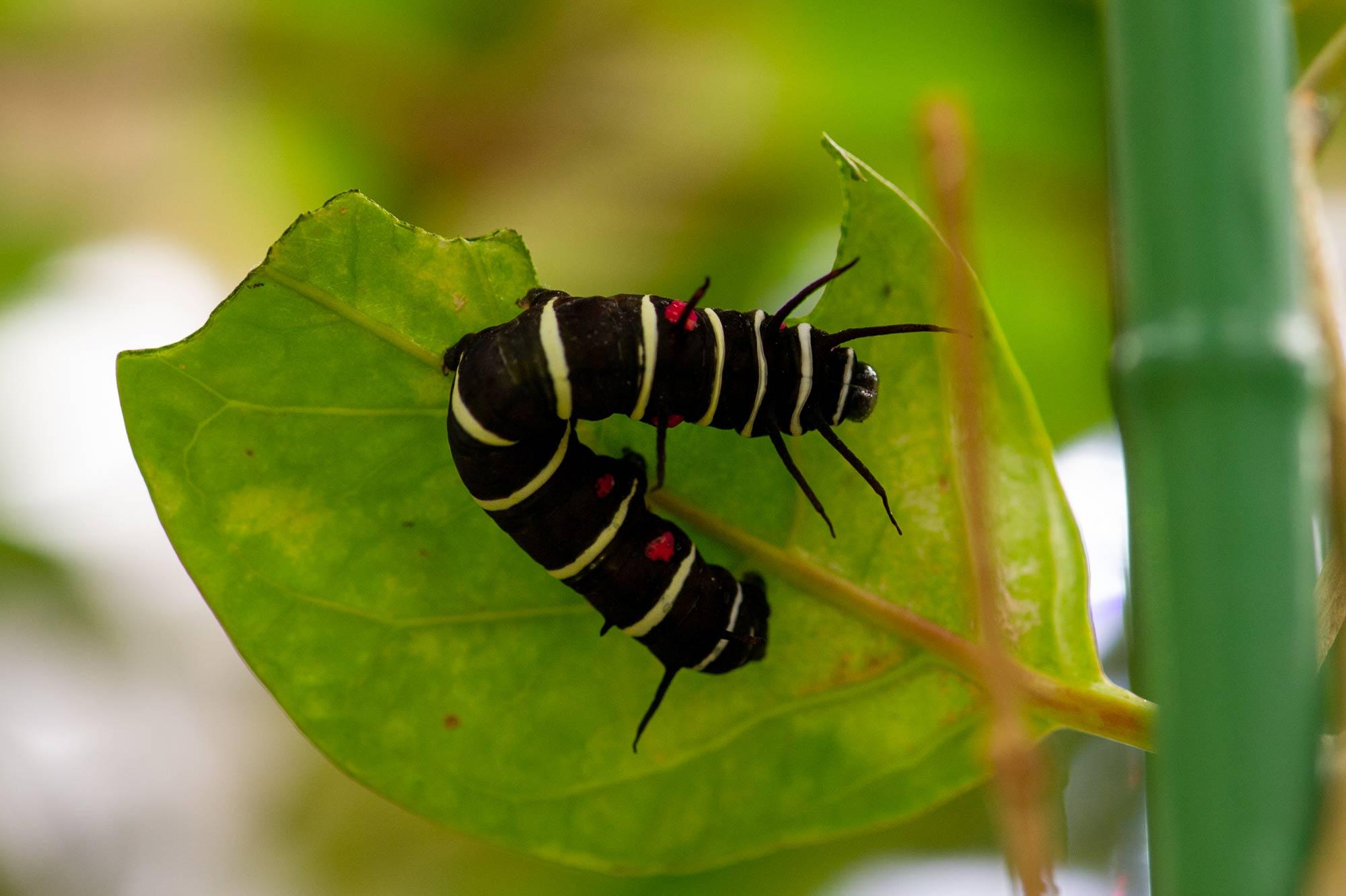 オオゴマダラの幼虫の写真