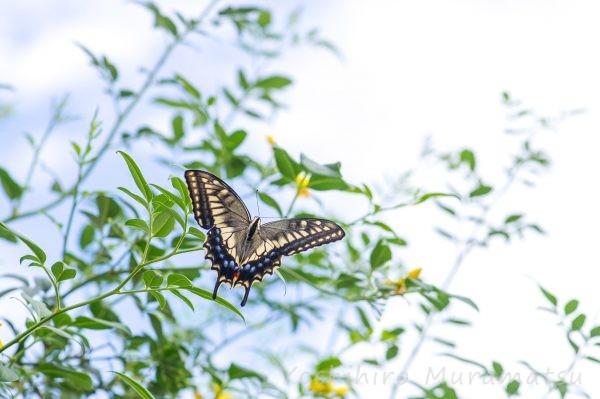 キアゲハの写真