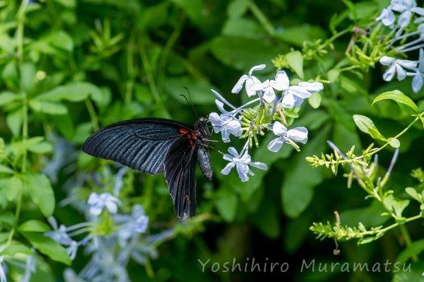 ナガサキアゲハの写真
