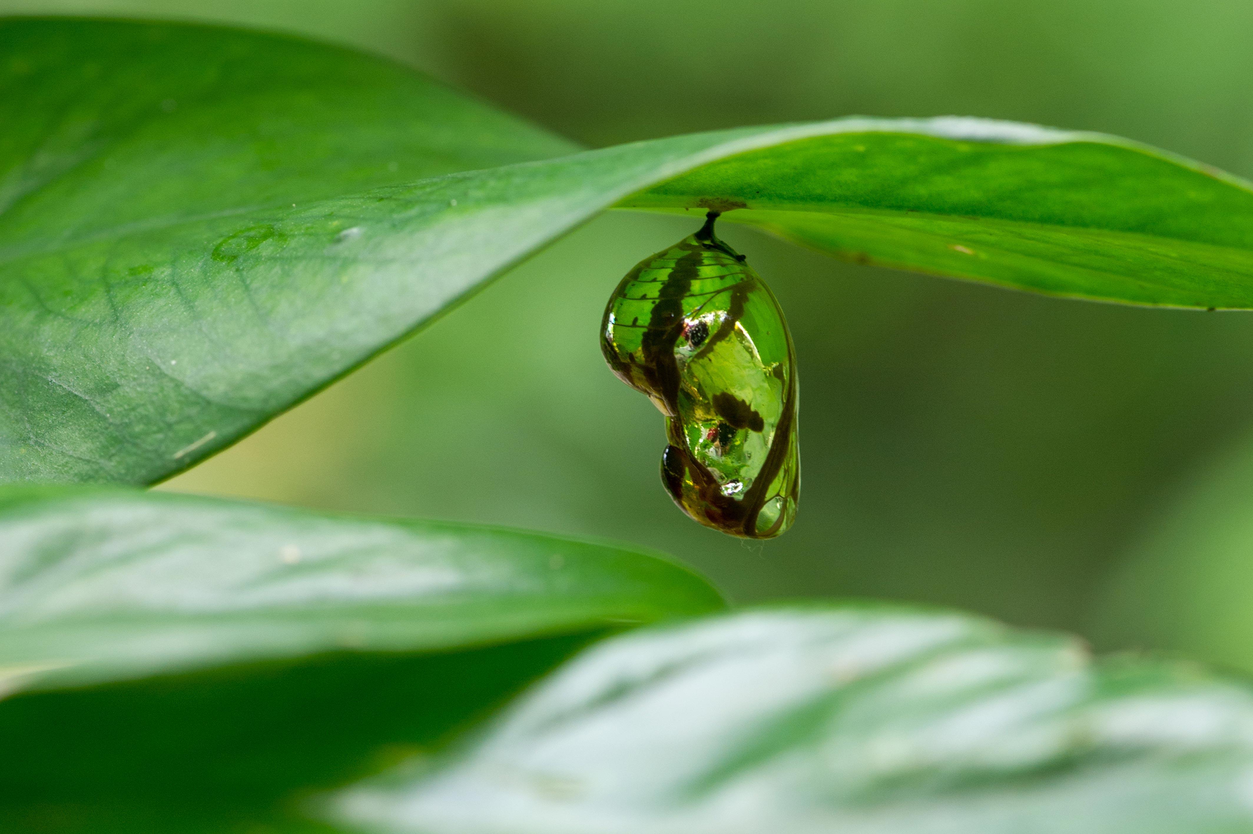 ツマムラサキマダラの蛹(サナギ)