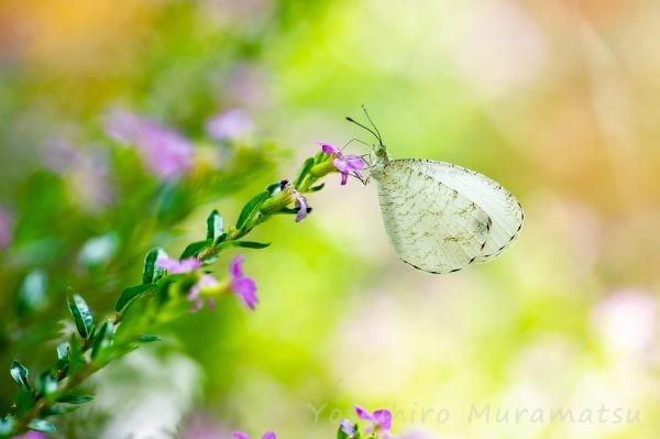 クロテンシロチョウの写真