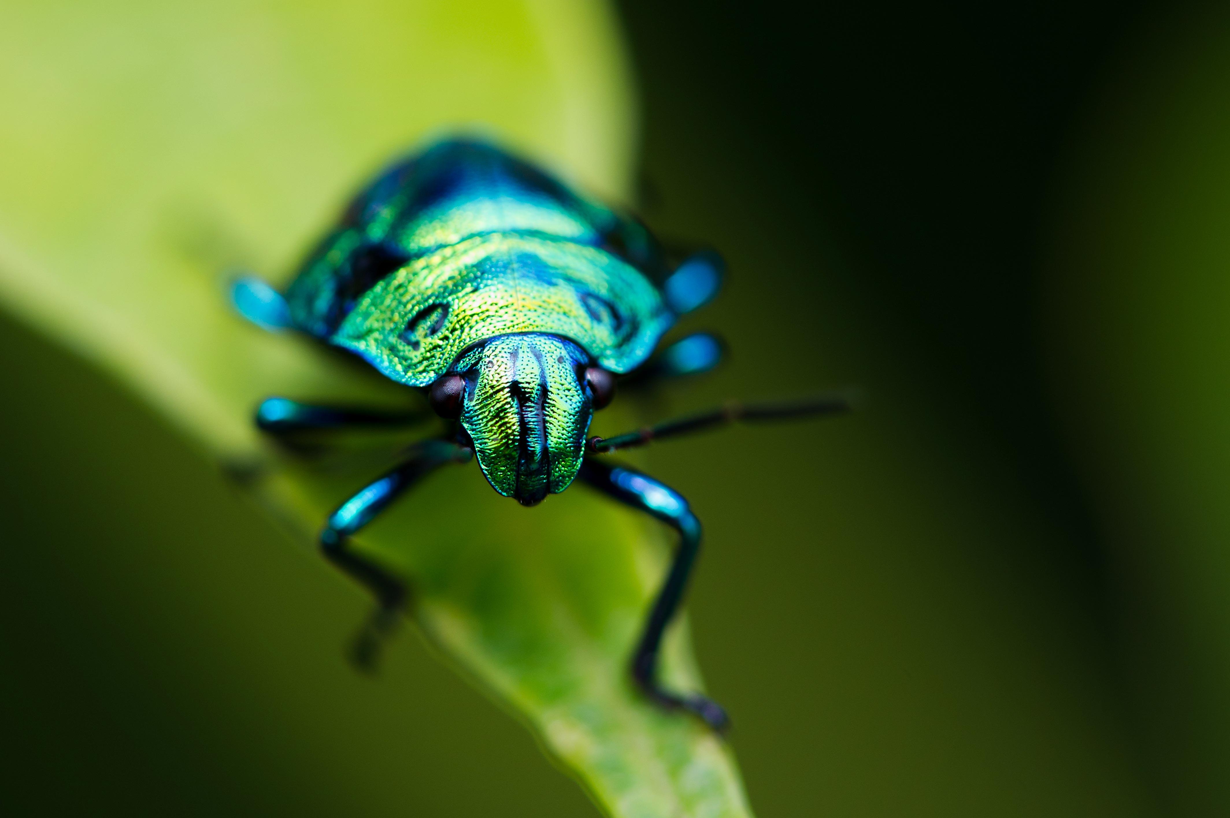 ナナホシキンカメムシの幼虫
