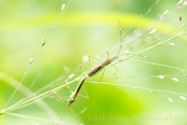 タイワンクモヘリカメムシの写真