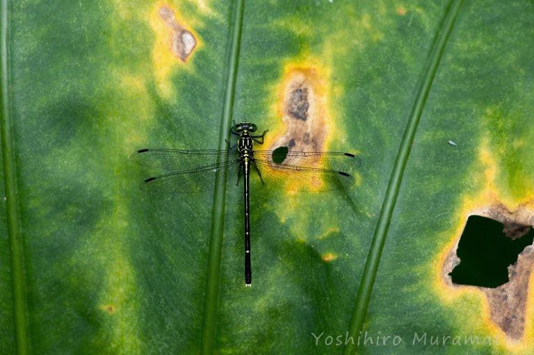 ヒメホソサナエの写真