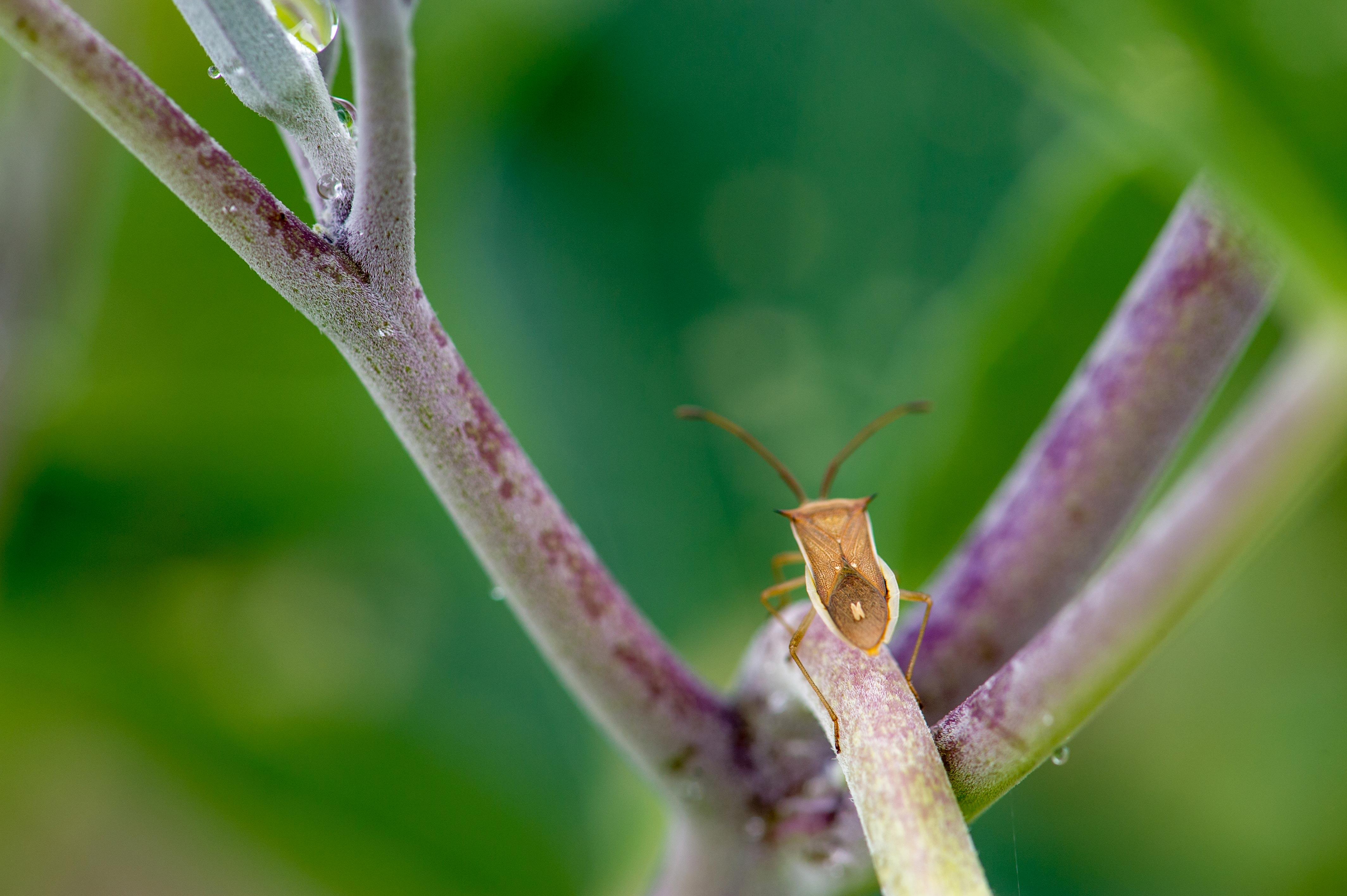 ホソハリカメムシの写真