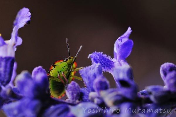 ミナミアオカメムシ幼虫の写真