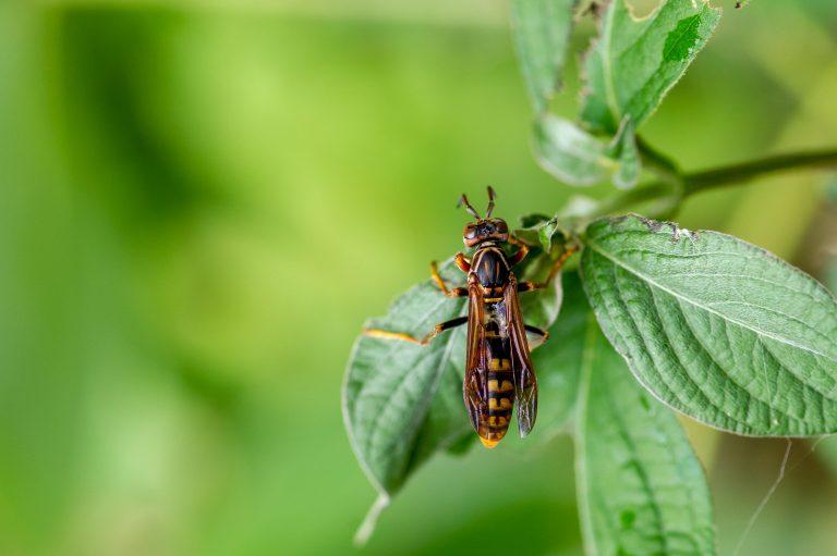 セグロアシナガバチの写真