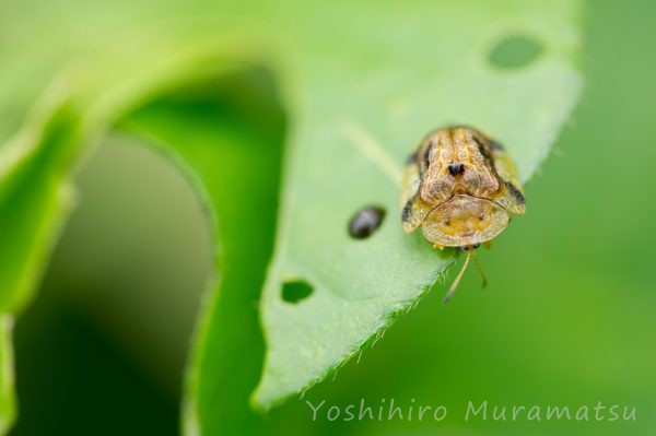 ヨツモンカメノコハムシの写真